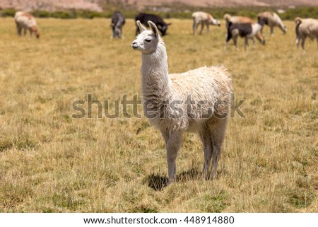 White Lama and different lamas in the background eating grass, Bolivia, South America