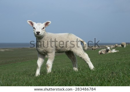 White lamb facing the camera. The Wadden Sea and salt marshes in the background  - stock photo