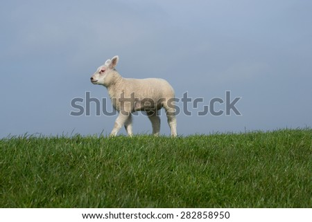 White lamb walking to the left  on green dike with clear blue sky  - stock photo