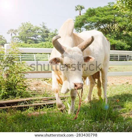 White Lamphun Cattle. Thailand cattle breeds to conservation. - stock photo