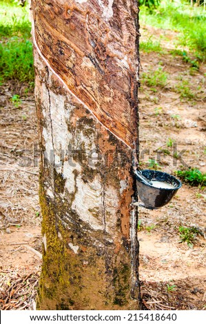 White latex extracted from rubber tree.Latex is used in manufacturing of natural rubber