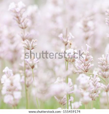White Lavender - stock photo