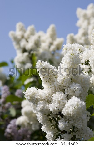 White lilac on a background of the sky