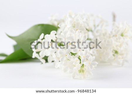 White lilac on white background. Soft focus