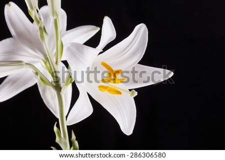 White lilies in a bunch, black background, with copyspace on the right, horizontal image - stock photo