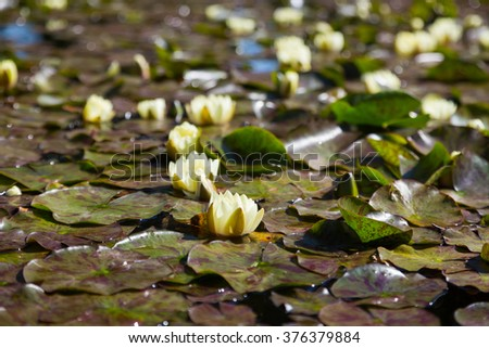 White lilies in  quiet water of  reservoir