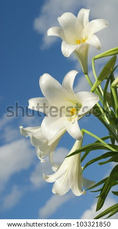 White lilies in the field - stock photo
