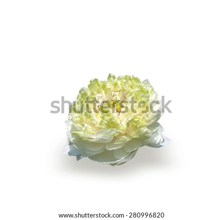 White lilies isolated on white background. - stock photo
