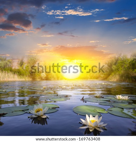 white lilies on a summer river - stock photo