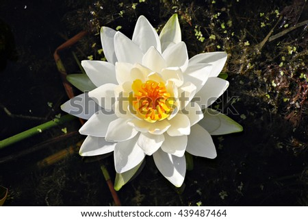White lilly on a black and green background - stock photo