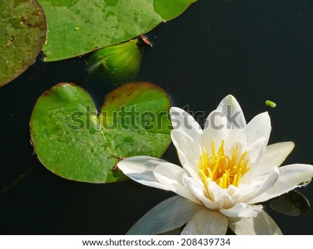 White lilly water in the lake - stock photo