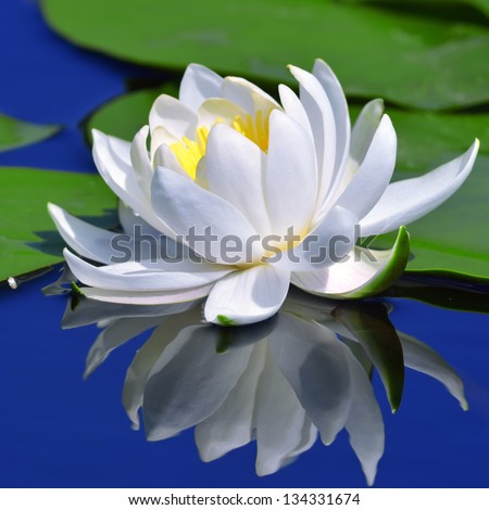 White lily against a blue water and green leaves - stock photo