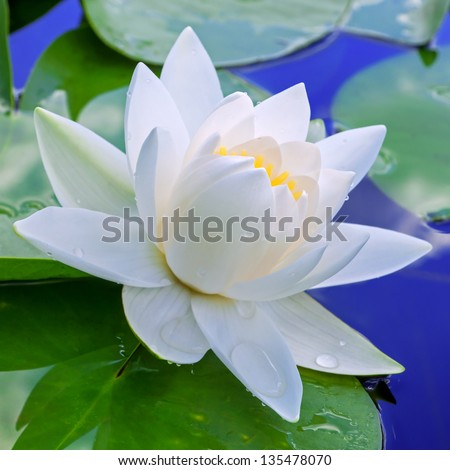White lily against the blue water and green leaves - stock photo