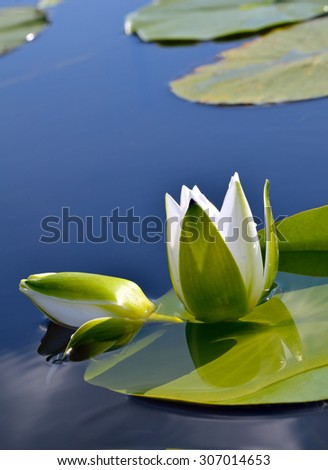 White lily against the blue water and green leaves on the lake