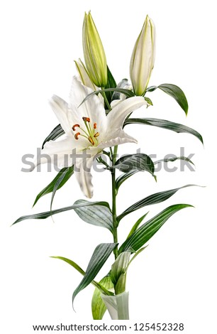 white lily Casablanca isolated on white background - stock photo