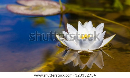 White Lily floating on water - stock photo