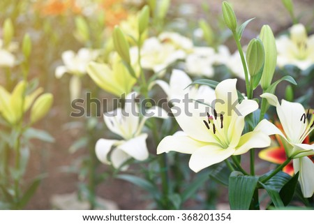 white lily flower background - stock photo