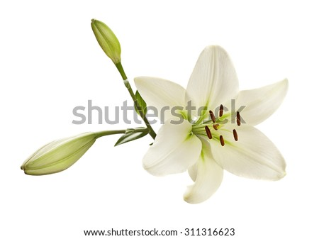 White lily flower head closeup isolated
