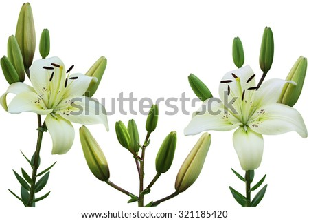 White lily flower in the garden isolated over background - stock photo