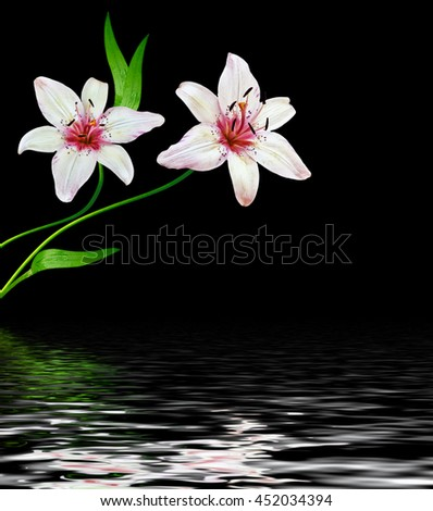 white lily flower on a black background.