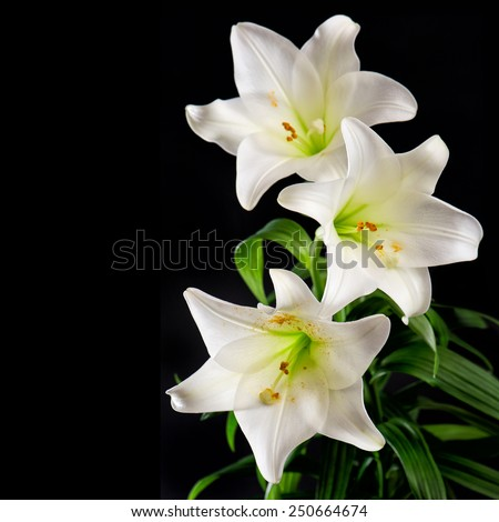 White lily flowers bouquet on black background. Condolence card concept - stock photo