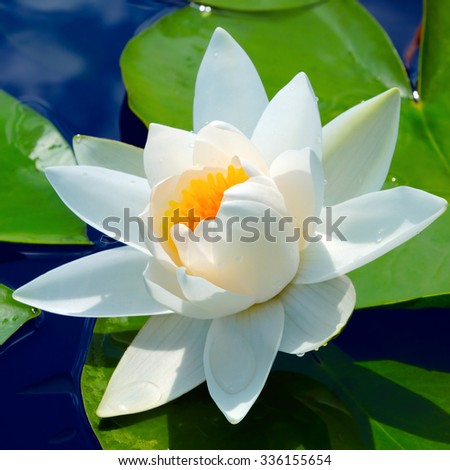 White lily in a pond against green leaves in a sunny day - stock photo