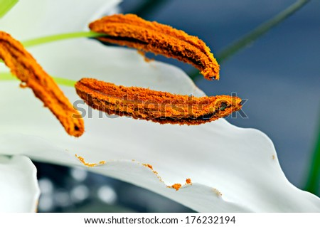 White lily in bloom - stock photo