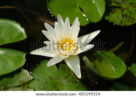 White lily in the blue water of the lake among the green leaves - stock photo