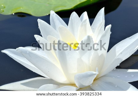 White Lily in the pond on a bright sunny day - stock photo