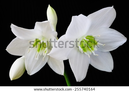 White lily on black - stock photo