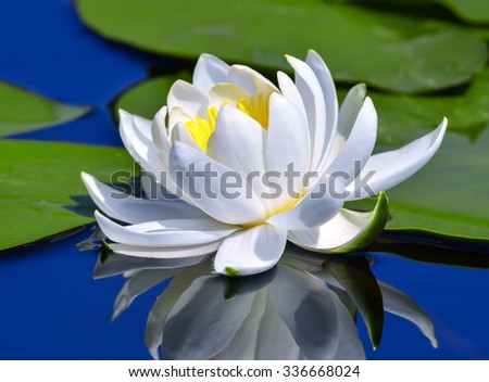 White lily on the lake among green leaves - stock photo