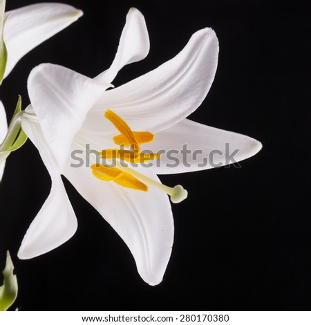 White lily over black background, square image - stock photo