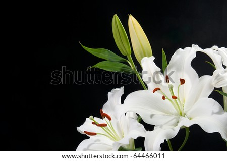 White Lily's with black background - stock photo
