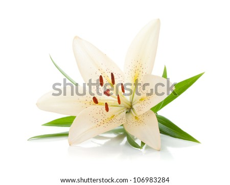 White lily with green leaves. Isolated on white background - stock photo