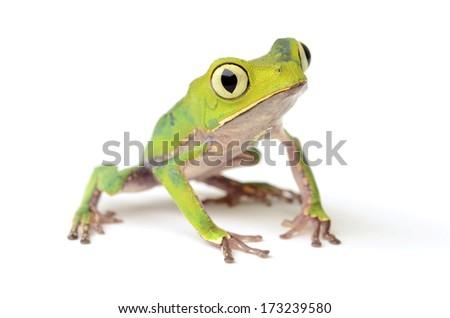 White-lined leaf frog (Phyllomedusa vaillanti) - stock photo