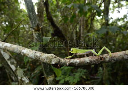 White lined monkey frog (Phyllomedusa vaillanti) - stock photo