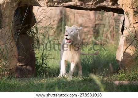 white lion at the zoo. - stock photo