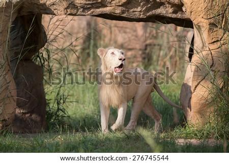 white lion at the zoo,thailand. - stock photo