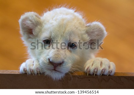 White lion cub - stock photo