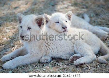 White Lion Cubs - stock photo