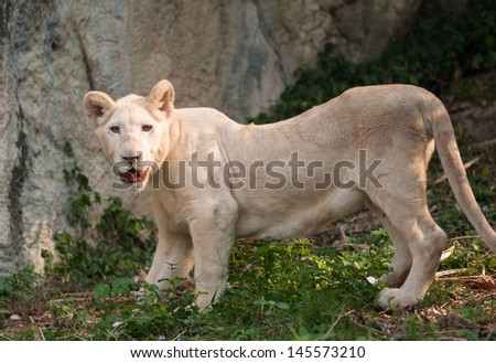 White lion (Panthera leo) standing on the grass. - stock photo