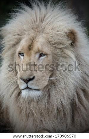 white lion profile with vignetting - stock photo