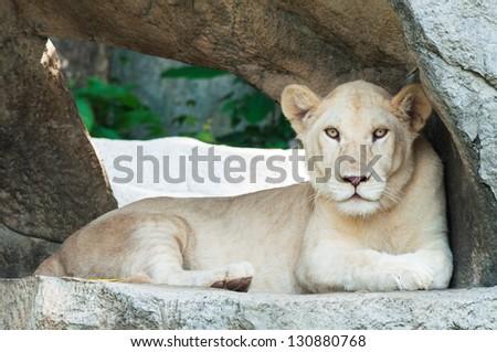 White Lion sitting on a stone pedestal. - stock photo