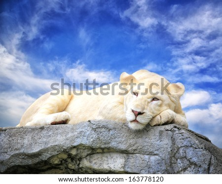 White lion sleep on the rock with blue sky background. - stock photo