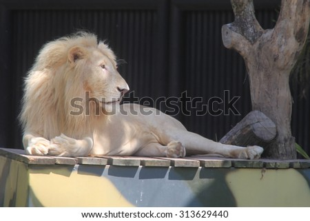 White lion sleeping on a wooden platform  - stock photo