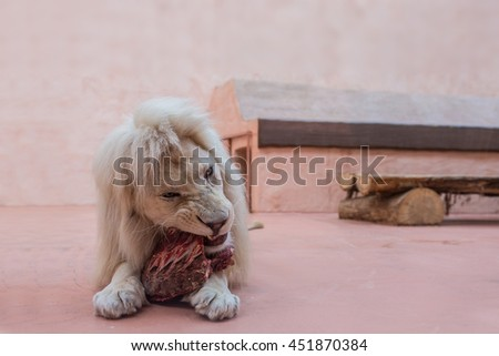 White lion with blue eyes portrait. close up feeding in the zoo - stock photo