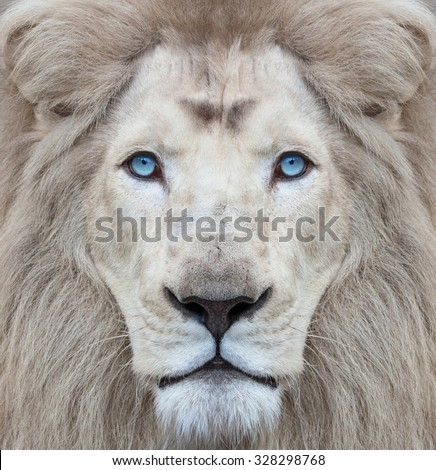 White lion with blue eyes portrait, looking straight at the camera - stock photo