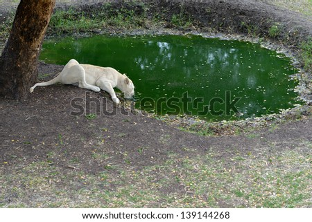 White lioness drinks from watering pool, Mauritius, Casela park - stock photo