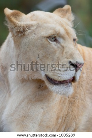 white lioness portrait - stock photo