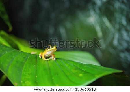 White-lipped tree frog found in Kubah national park, Sarawak, Malaysia - stock photo